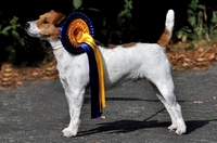 Bester Jack Russell unter 12 Inch: Highfast Kind Lola